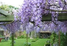 Klimplanten groeien nu hard tuinkalender mei clematisonline blog - Pergola klimplant ...