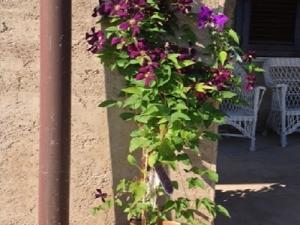 Clematis Etoile de Violette in pot