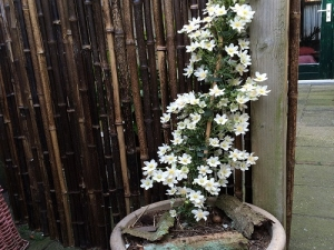Clematis Avalanche (groenblijvend) in pot