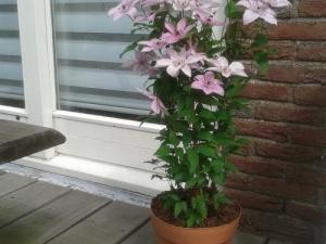 Clematis Hagley Hybrid op patio in pot