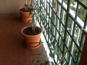 Clematis Apple Blossom op balkon