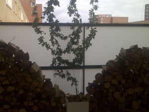 Passiflora op balkon