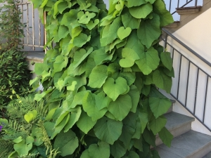 Aristolochia - Duitse Pijp