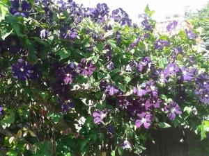 Clematis Etoile Violette in een dode boom gegroeid