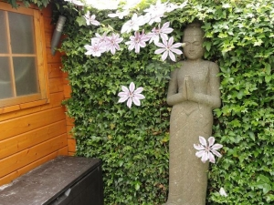 Clematis Nelly Moser in Hedera Haag