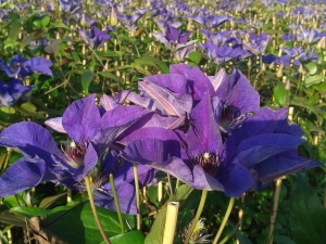 Clematis The President in volle bloei