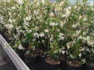 Bloeiende Toscaanse Jasmijn (Sterjasmijn)