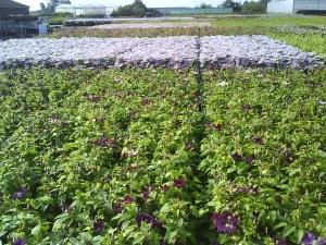 Bijna bloeiende en bloeiende Clematis op de kwekerij