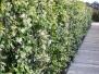 Voorbeeldfoto's Klimplanten hagen