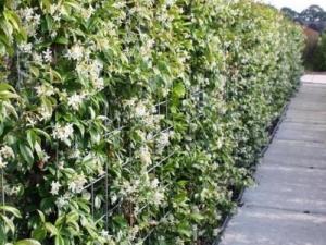 Toscaanse jasmijn haag volgroeid