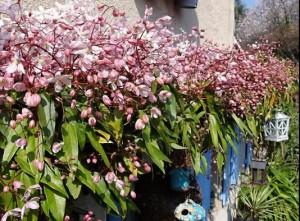 Groenblijvend Clematis Apple Blossom