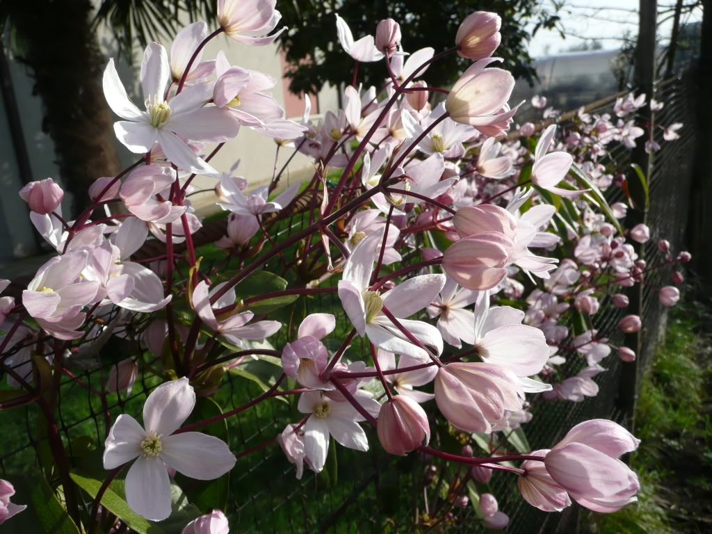 groenblijvende Clematis Apple Blossom
