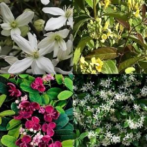 4 seizoenen klimplanten