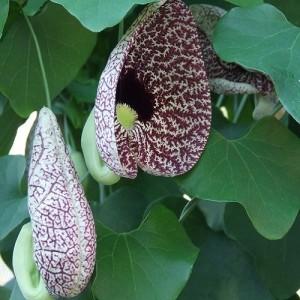 Aristolochia - Pijp bloemen