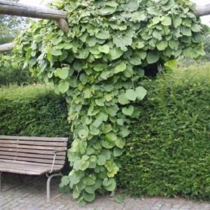Aristolochia-durior-Duitse-pijp