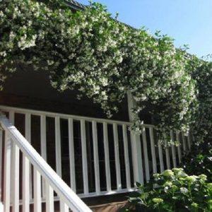 Overhangende Toscaanse Jasmijn, vol in bloei