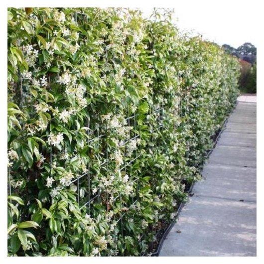 Hagen van Toscaanse Jasmijn