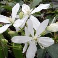 Clematis Armandii bloemen